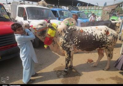 راولپنڈی کی ٹیکسلا منڈی سے تسنیم نیوز کے نمائندے کی خصوصی رپورٹ