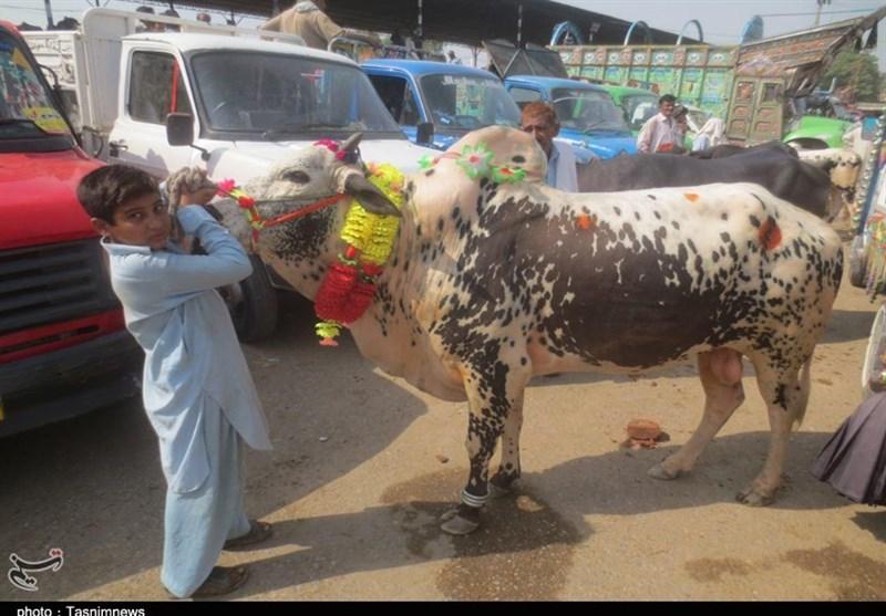 عید الاضحیٰ کی آمد پر مویشی منڈیوں میں مندی کا رجحان/ تصویری رپورٹ
