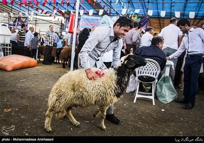 ذبح دام در عید قربان (2)