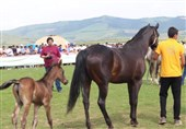 هویت اسب اصیل ترکمن احیا میشود