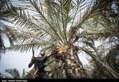 نخلداران شرق استان کرمان در انتظار تحقق وعدههای مسئولان هستند