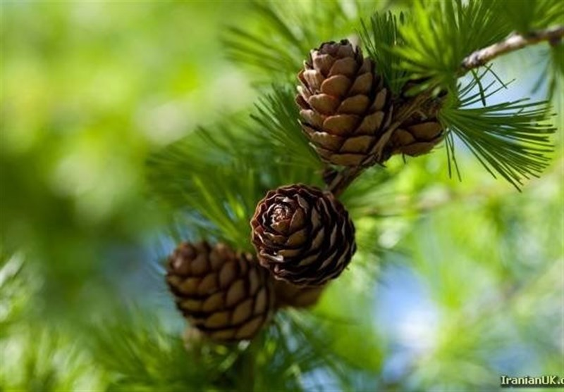 چرا نباید درخت «کاج» بکاریم