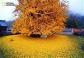 درخت جینکو