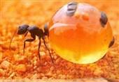 عکس /مورچه عسل