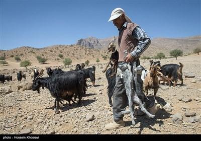 پرورش بز توسط عشایر استان فارس