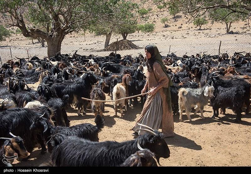 53 درصد دام سبک کشور در اختیار عشایر استان سمنان است