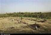 کاشت نهال به ازای هر ازدواج و تولد در زنجان