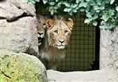 فرار از باغوحش به قیمت جان؛ یکی از دو شیر فراری باغوحش آلمان کشته شد