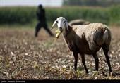 گرانی علوفه دامداران استان آذربایجان غربی را دچار مشکل کرده است