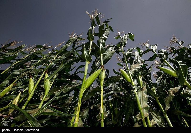 طرح 5 ساله خودکفایی در تولید غذای دام به مجلس ارسال شد