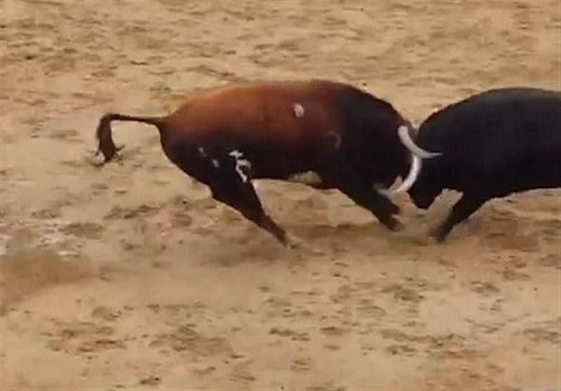 فیلم/لحظه دلخراش برخورد شاخ به شاخ دو گاو نر خشمگین