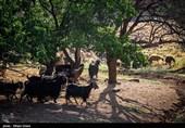 دامداری سنتی در سنندج