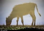 دامداران در هزار توی معضل «خام فروشی»؛ چرا 70 درصد شیر تولیدی خراسان شمالی از استان خارج میشود؟