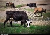 کرمانشاه| 4.5 میلیون واحد دامی سالانه 450 هزار تن محصولات دامی تولید میکنند