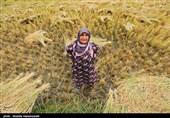 برداشت برنج از شالیزارهای گلستان