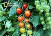 مراحل رشد گوجه فرنگی !