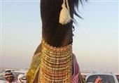 گردنبند طلا بر گردن شتر