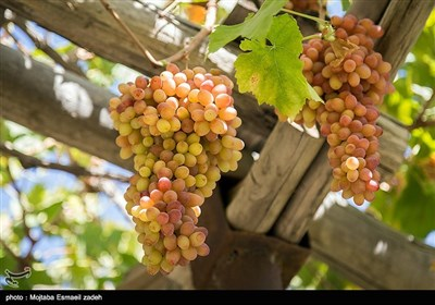 Gardeners Harvest Grapes in Northwestern Iran