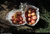 برداشت سیب در ارومیه