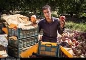 درخواست سازمان توسعه تجارت برای حذف یارانه صادراتی سیب + سند