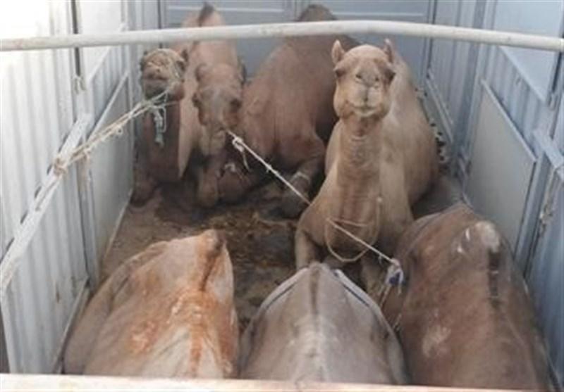 شتر قاچاق