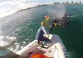آزادسازی گوساله نهنگ