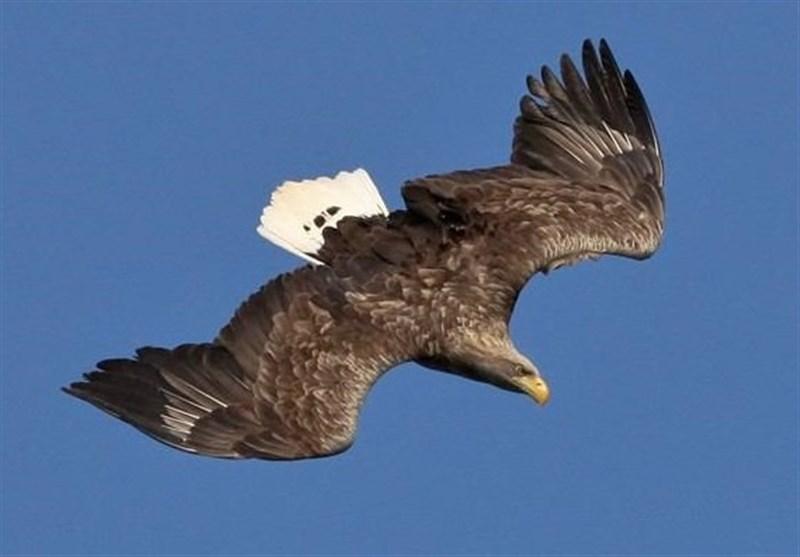 عقاب دم سفید