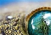 چشم مارمولک از نمای نزدیک