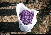 برداشت زعفران در مشهد