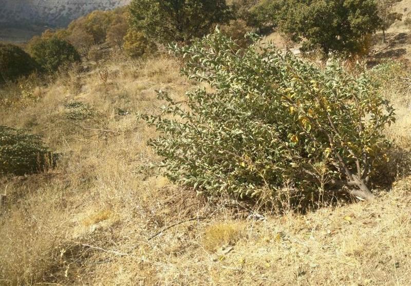 درختان 20 ساله روستای شوراب صغیر در غفلت مسئولان قطع میشوند