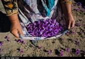 آغاز برداشت زعفران از مزارع شهرستان نطنز