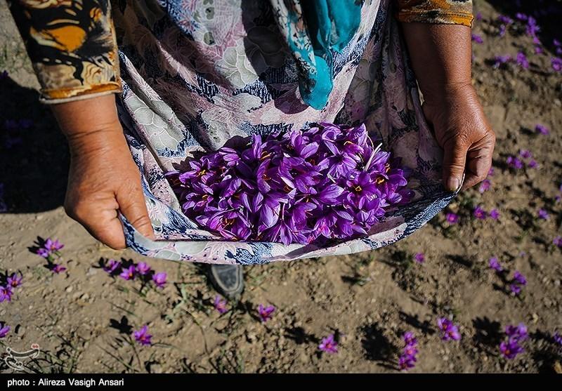صنایع تبدیلی زعفران در دستور کار سازمان جهاد کشاورزی استان سمنان است