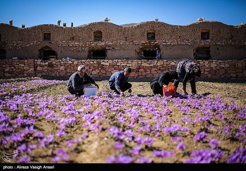 """آغاز برداشت """"طلای سرخ کویر"""" از مزارع استان چهارمحال و بختیاری"""