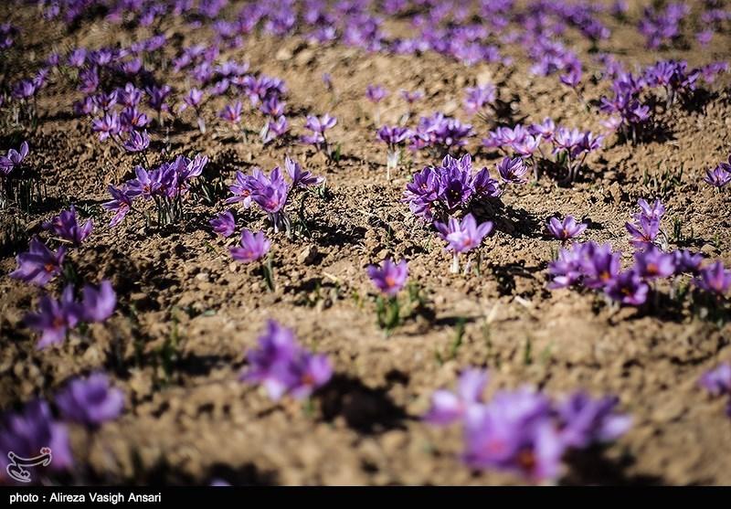 """پروژه تولید """"زعفران ارگانیک"""" در ایران از زیر صفر آغاز شد"""