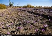 برداشت زعفران در طرق رود اصفهان