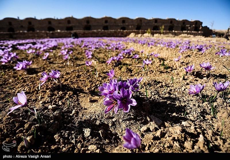 1250 کیلوگرم زعفران در زرند برداشت میشود