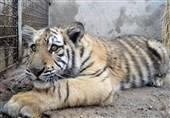 علت مرگ توله ببرها در باغ وحش مشهد مشخص شد