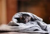 موش در لباس