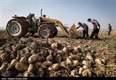بیش از 6 هزار هکتار چغندر قند در استان گلستان کشت میشود