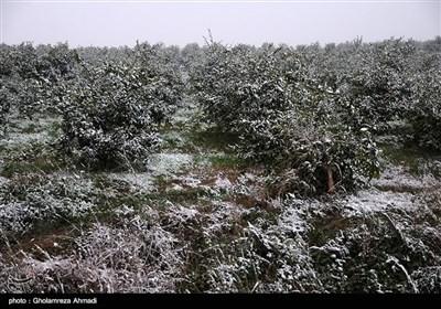جنی محاصیل البساتین فی ساری بسبب الثلوج