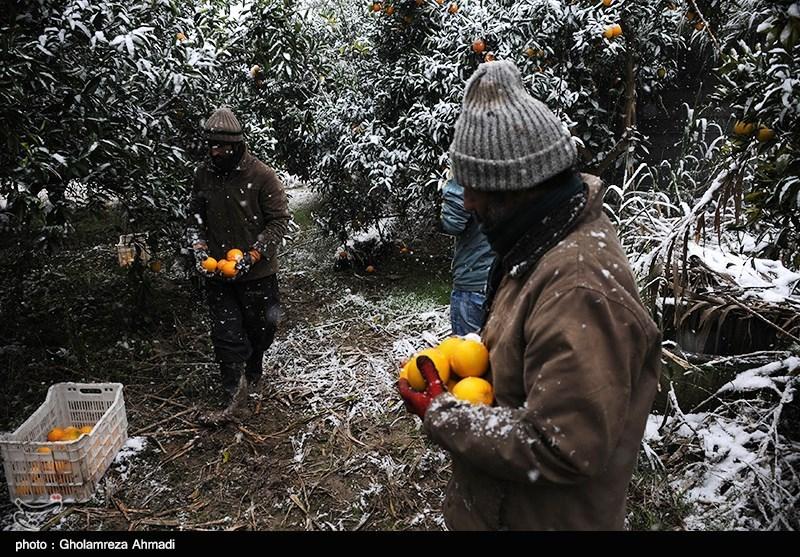 برداشت اجباری محصولات باغی - ساری