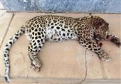 لاشه یوزپلنگ