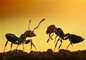 لانه مورچه