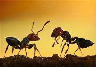 فیلم/ریختن آلومینیوم مذاب در لانه مورچهها