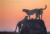 عکس روز نشنال جئوگرافی/سنگی برای سه یوزپلنگ