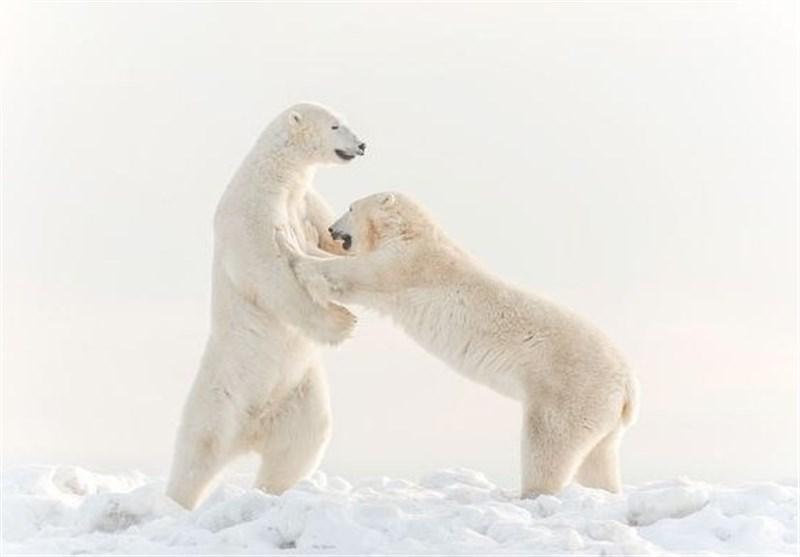 عکس روز نشنال جئوگرافیک؛ بازیگوشی دو خرس قطبی