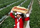 عکس / دختر فلسطینی در یکی از مزارع توت فرنگی در غزه
