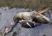 شیوع آنفلوآنزای فوقحاد پرندگان در تالاب میقان اراک/ 350 لاشه پرنده از تالاب جمعآوری شد