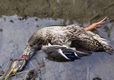 شیوع آنفلوآنزای فوقحاد پرندگان در تالاب میقان اراک/ ۳۵۰ لاشه پرنده از تالاب جمعآوری شد