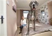 بزرگترین سگ انگلیس
